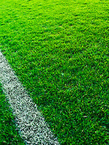 Sod Grass - Sports Turf (Non-netted) Blueridge